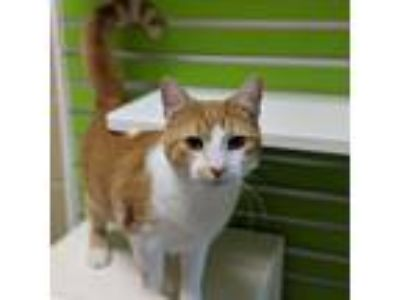 Adopt Oscar a Orange or Red (Mostly) Domestic Shorthair (short coat) cat in