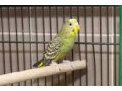 Adopt South a Yellow Parakeet - Other / Mixed bird in Arlington, VA (25926143)