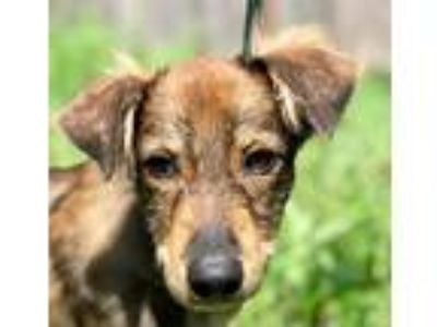 Adopt HONDO a Brown/Chocolate - with Tan Shepherd (Unknown Type) / Mixed dog in