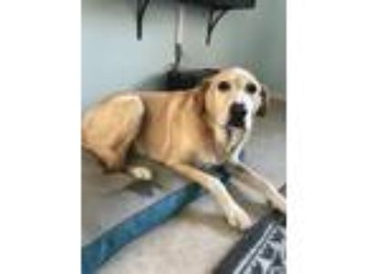 Adopt Achille a Tan/Yellow/Fawn - with White Labrador Retriever / Mixed dog in