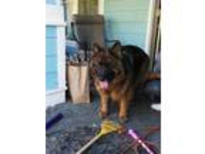 Adopt Romio a Black - with Tan, Yellow or Fawn German Shepherd Dog / Mixed dog