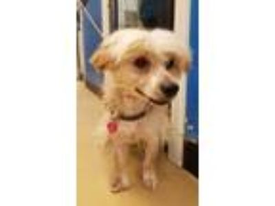 Adopt Baxter - Chino Hills a Poodle, Yorkshire Terrier