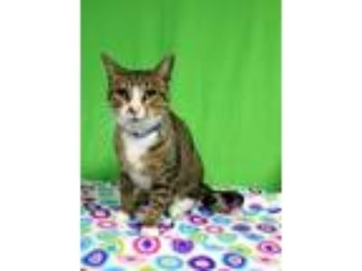 Adopt Bentley a Domestic Mediumhair / Mixed cat in Arlington, TX (25371145)