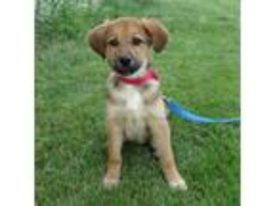 Adopt SALLY a Brown/Chocolate Shepherd (Unknown Type) / Mixed dog in Slinger