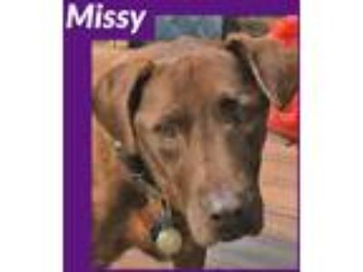 Adopt Missy a Brown/Chocolate Labrador Retriever dog in Palatine, IL (25901593)