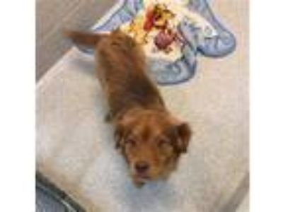 Adopt BYRON a Brown/Chocolate Nova Scotia Duck-Tolling Retriever / Mixed dog in