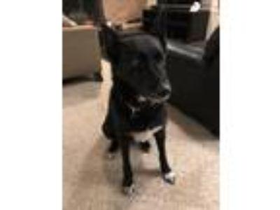 Adopt Zoey a Black German Shepherd Dog / Whippet / Mixed dog in White Bear Lake