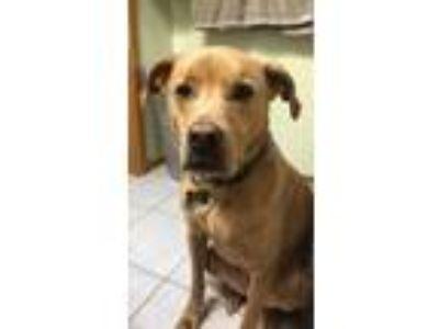 Adopt Rudy a Tan/Yellow/Fawn Labrador Retriever / Mixed dog in Ooltewah