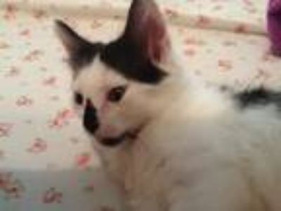 Adopt No names given yet a Black & White or Tuxedo American Shorthair cat in