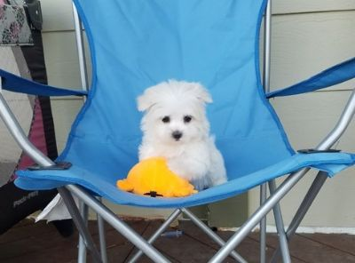 Maltese PUPPY FOR SALE ADN-105382 - Beautiful Maltese Girl