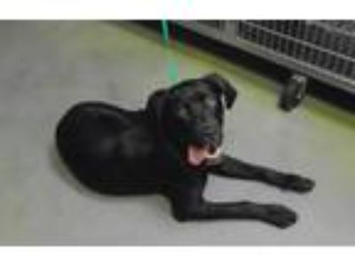Adopt Chip Skylark Ill a Labrador Retriever / Hound (Unknown Type) / Mixed dog