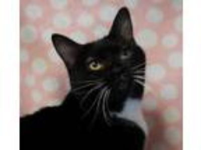 Adopt Ruby a All Black Domestic Shorthair / Domestic Shorthair / Mixed cat in