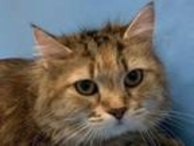 Adopt Fish Bait a Domestic Medium Hair, Domestic Short Hair
