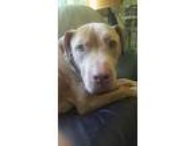 Adopt Brownie a Tan/Yellow/Fawn Pit Bull Terrier / Mixed dog in Seattle