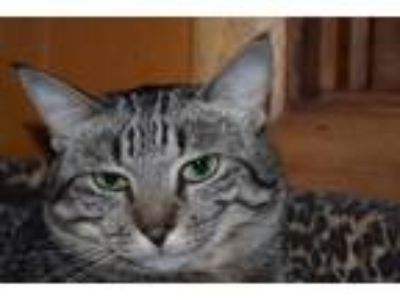 Adopt Panjandrum a Tabby, Domestic Short Hair