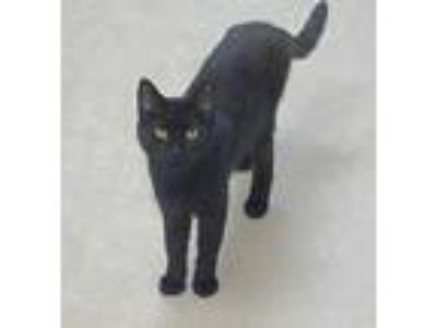 Adopt Delaney a All Black Domestic Shorthair / Mixed (short coat) cat in