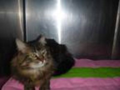 Adopt PRINCESS a Brown Tabby Maine Coon / Mixed (long coat) cat in St.