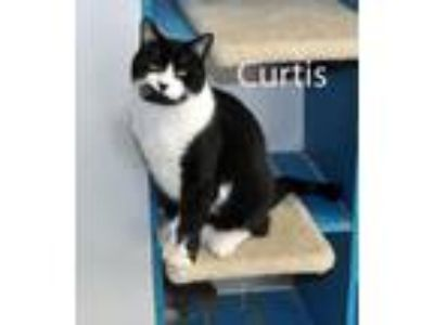 Adopt Curtis a Black & White or Tuxedo Domestic Shorthair (short coat) cat in