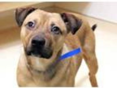 Adopt Bubba a Tan/Yellow/Fawn Shepherd (Unknown Type) / Mixed dog in Chicago