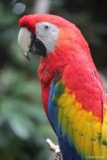 Male Illigers Macaw For Sale!