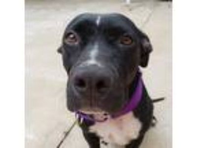 Adopt Stella a Black - with White Labrador Retriever / Mixed dog in Umatilla