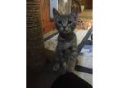 Adopt Sausalito (Available Friday, 6/21/19) a Domestic Shorthair / Mixed cat in