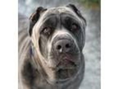Adopt BEAR a Gray/Blue/Silver/Salt & Pepper Neapolitan Mastiff / Mixed dog in