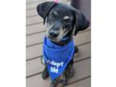 Adopt Rock a Black Miniature Pinscher / Rat Terrier / Mixed dog in Chester