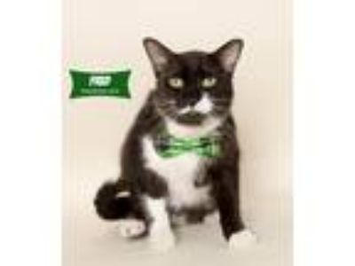 Adopt Fred a Black & White or Tuxedo Domestic Shorthair (short coat) cat in