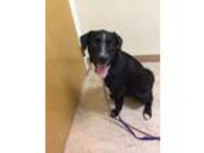 Adopt Dante a Black - with White Border Collie / Labrador Retriever / Mixed dog