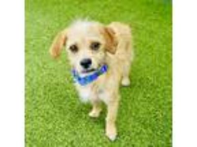 Adopt Tormund a Tan/Yellow/Fawn Terrier (Unknown Type, Small) / Dachshund dog in