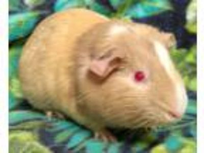 Adopt Charlotte a Multi Guinea Pig small animal in Highland, IN (25541047)