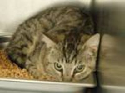 Adopt Barn Cat-Siloam Springs a Tabby