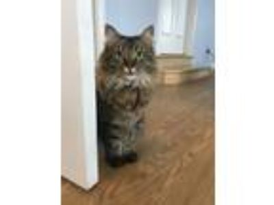 Adopt Tiger Lily a Calico or Dilute Calico Maine Coon cat in Provo