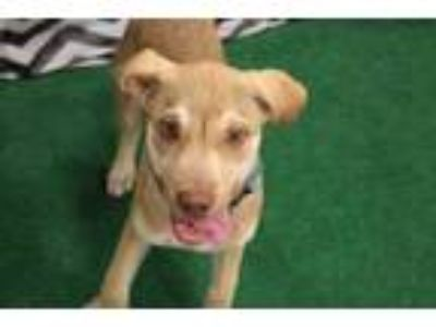 Adopt Simber a Tan/Yellow/Fawn Retriever (Unknown Type) / Mixed dog in