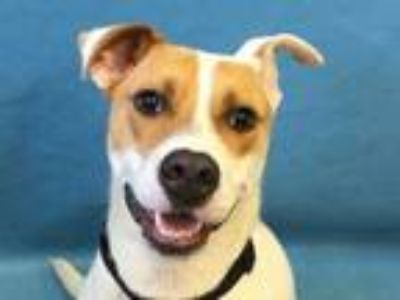 Adopt Finn a White Labrador Retriever / Black Mouth Cur / Mixed dog in Golden