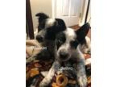 Adopt DiNozzo a Black - with White Border Collie / Cattle Dog / Mixed dog in