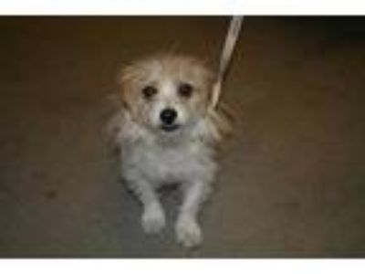 Adopt a Tan/Yellow/Fawn - with White Norwich Terrier / Mixed dog in Modesto