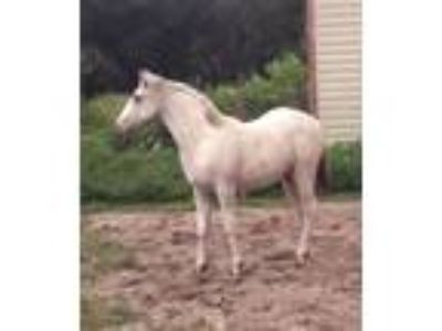 2018 Foundation Appaloosa few spot filly