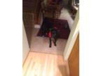 Adopt Devito a Black - with White Labrador Retriever / American Pit Bull Terrier