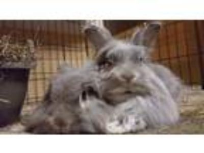 Adopt Ruth & Pierce a Grey/Silver Lionhead / Mixed (long coat) rabbit in