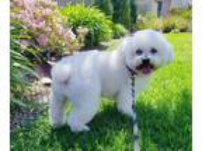 Adopt Finnie a White Bichon Frise / Mixed dog in Placentia, CA (25278337)
