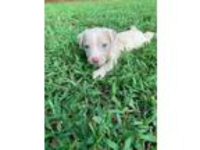 Adopt Arabella a Catahoula Leopard Dog