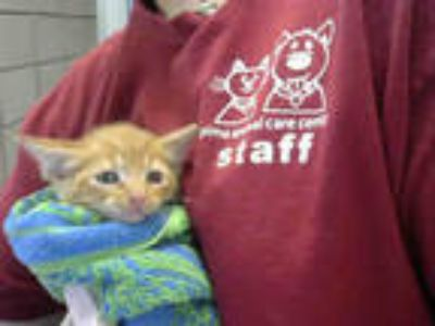 Adopt BABY ARCHIE a Orange or Red Tabby Domestic Shorthair / Mixed (short coat)