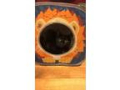 Adopt Itty Bitty a All Black Domestic Shorthair / Mixed cat in Moss Point