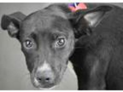 Adopt Brit a Black Terrier (Unknown Type, Small) / Mixed dog in Shreveport