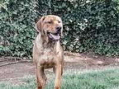 Adopt Tucker a Tan/Yellow/Fawn Hound (Unknown Type) / Shepherd (Unknown Type) /