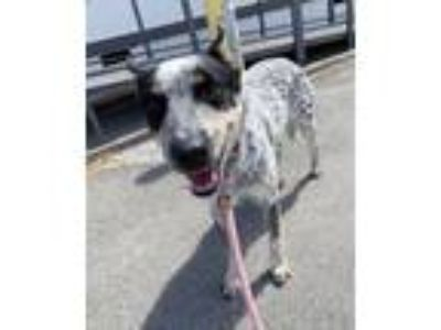 Adopt Brandy a Australian Cattle Dog / Blue Heeler
