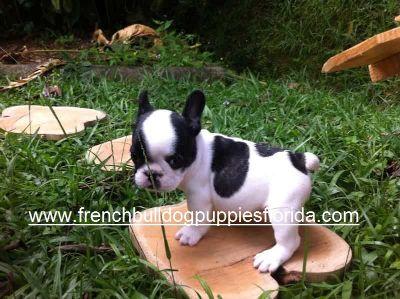 French Bulldog PUPPY FOR SALE ADN-78070 - French Bulldog Puppies Florida 1700