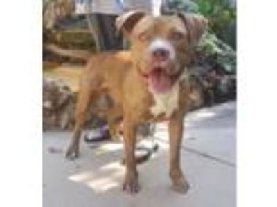 Adopt Wally a Red/Golden/Orange/Chestnut - with White American Pit Bull Terrier